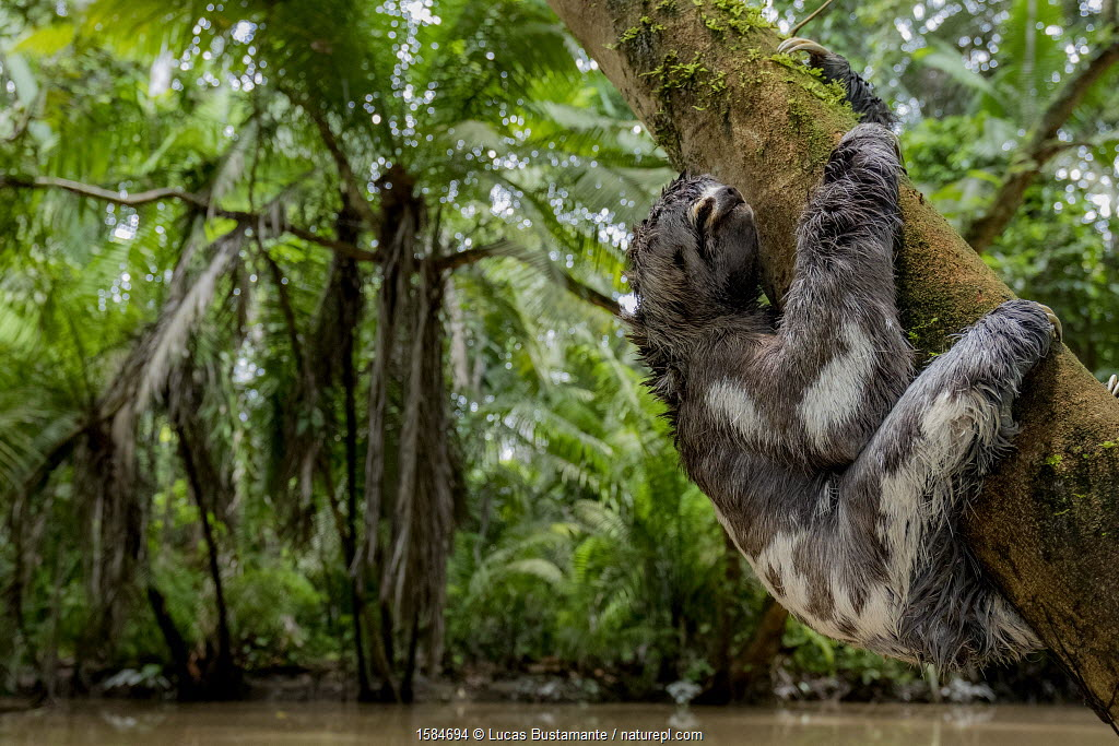 Juvenile of Three-Toed Sloth (Bradypus variegatus) hanging on a tree. Yasuni National Park, Orellana, Ecuador