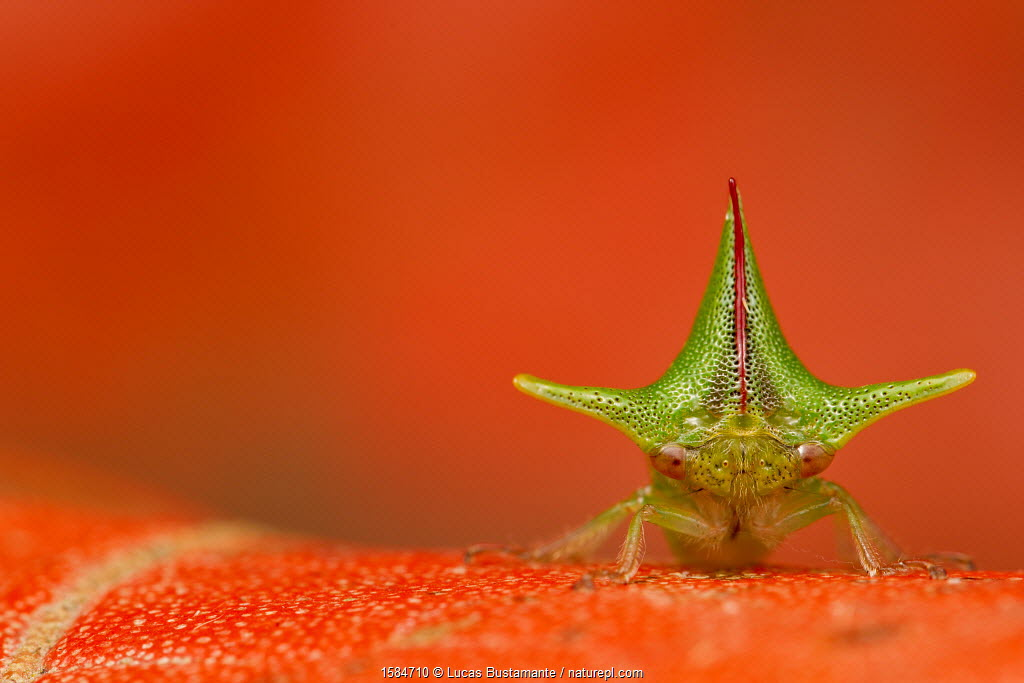 Treehopper (Alchisme grossa) Mindo, Pichincha, Ecuador