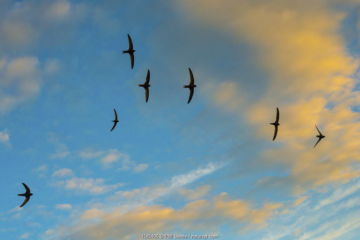Swift (Apus apus) flock screaming in flight against blue sky and clouds, Monmouthshire, Wales