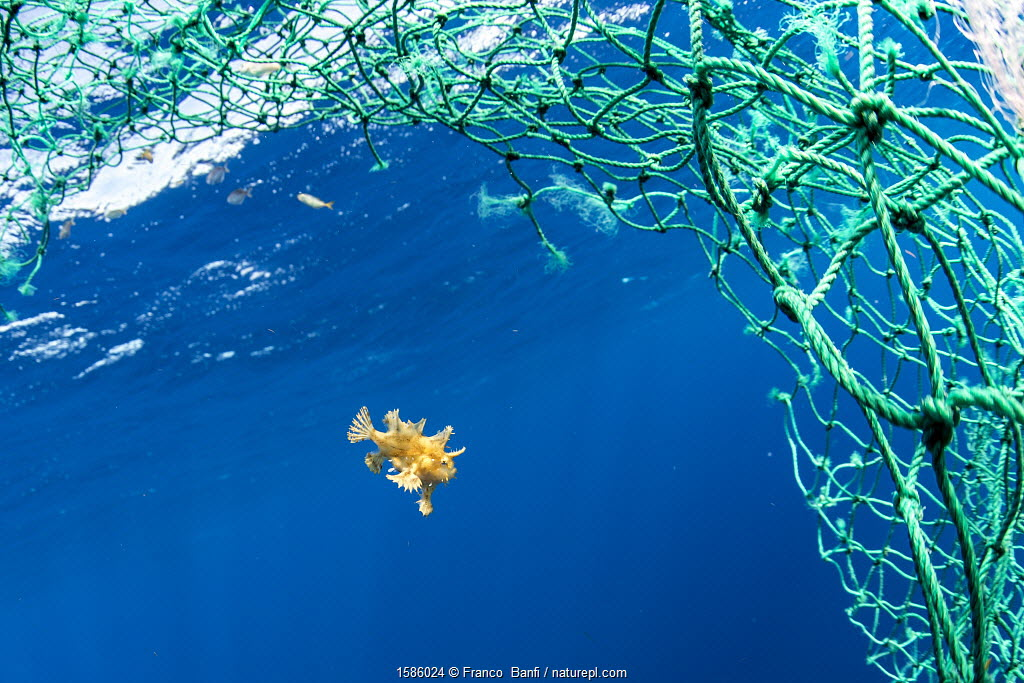 Sargassum fish (Histrio histrio) swimming with discarded fishing net, Dominica.