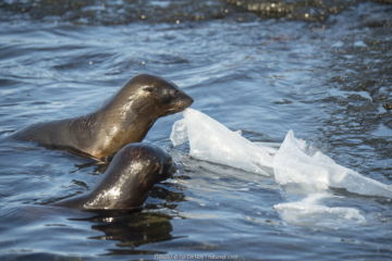 Galapagos fur seal (Arctocephalus galapagoensis) pups playing with plastic sheeting, Galapagos.