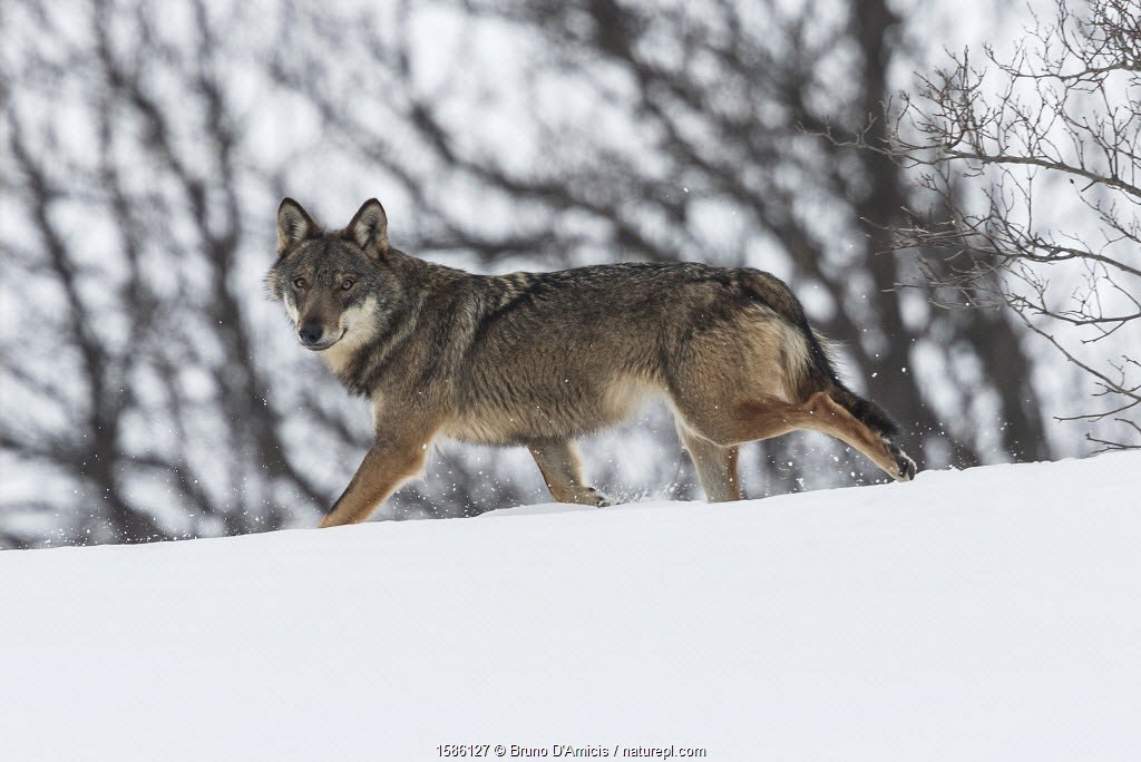 Wild Apennine wolf (Canis lupus italicus) in snowy landscape. Central Apennines, Abruzzo, Italy. February. Italian endemic subspecies.
