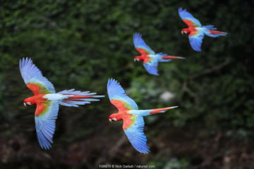 Four colourful Red-and-green macaws or Green-winged macaws (Ara chloropterus) in flight over forest canopy. Mato Grosso do Sul, Brazil. September.