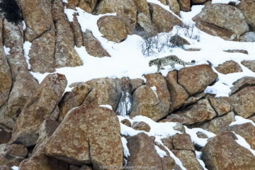 Snow leopard (Panthera uncia) male moving over rocky, snow-covered slopes. Ulley Valley, Himalayas, Ladakh, India.