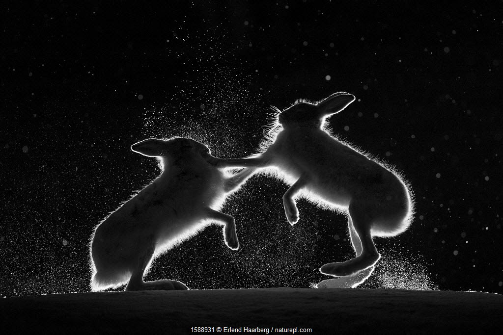 Mountain hares (Lepus timidus) backlit, fighting at night, Norway. April.