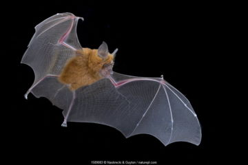 Lander's horseshoe bat (Rhinolophus landeri) in flight, Gorongosa National Park, Sofala, Mozambique.