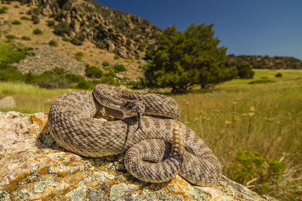 Prairie Rattlesnake (Crotalus viridis) sunbathing, Bozeman, Montana, USA.