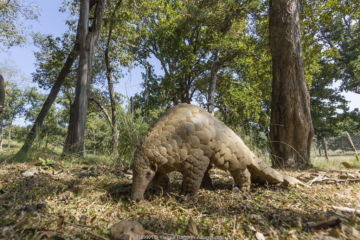 Indian pangolin (Manis crassicaudata) foraging for food, Kanha National Park, Madhya Pradesh, India.