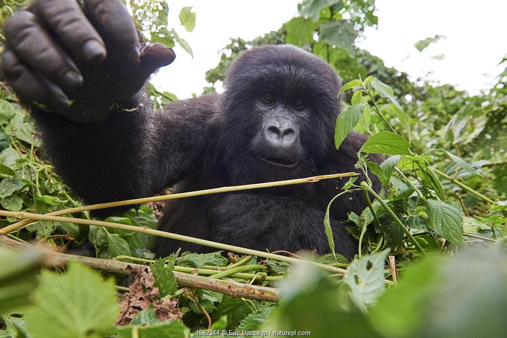 July 2018 Mountain gorilla (Gorilla beringei beringei) juvenile female stretching hand out towards camera, member of the Kabirizi group, Virunga National Park, North Kivu, Democratic Republic of Congo, Africa, Critically endangered.