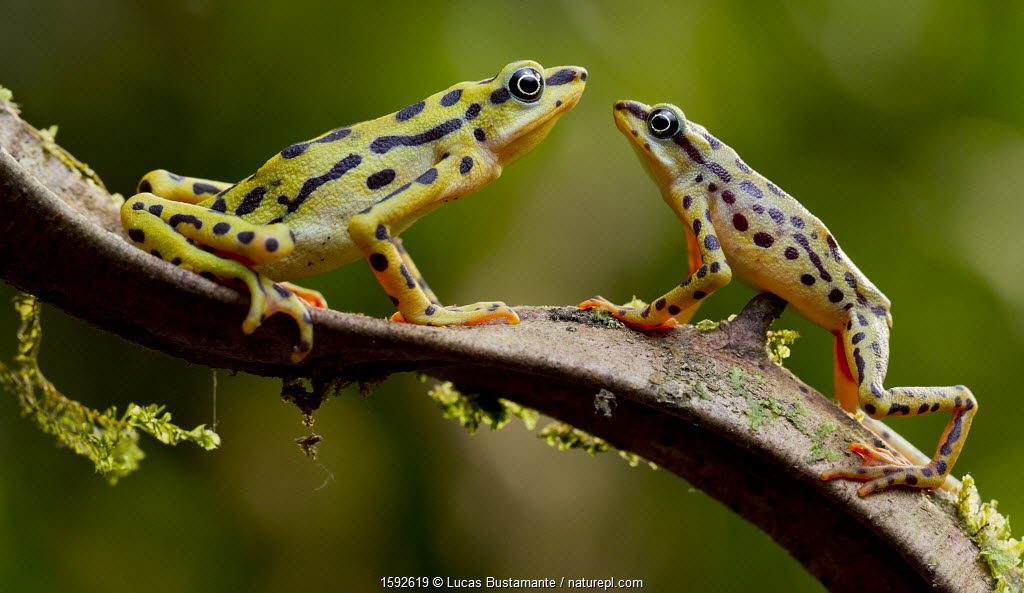 Rio pescado harlequin toad (Atelopus balios) pair on branch, female on the left, Azuay, Ecuador