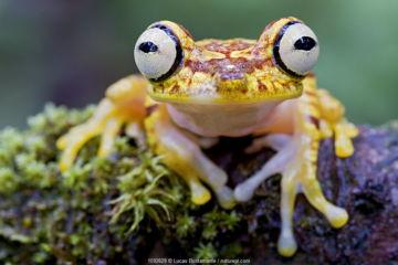 July 2018 Imbabura tree frog (Hypsiboas picturatus) portrait, Canande, Esmeraldas, Ecuador.