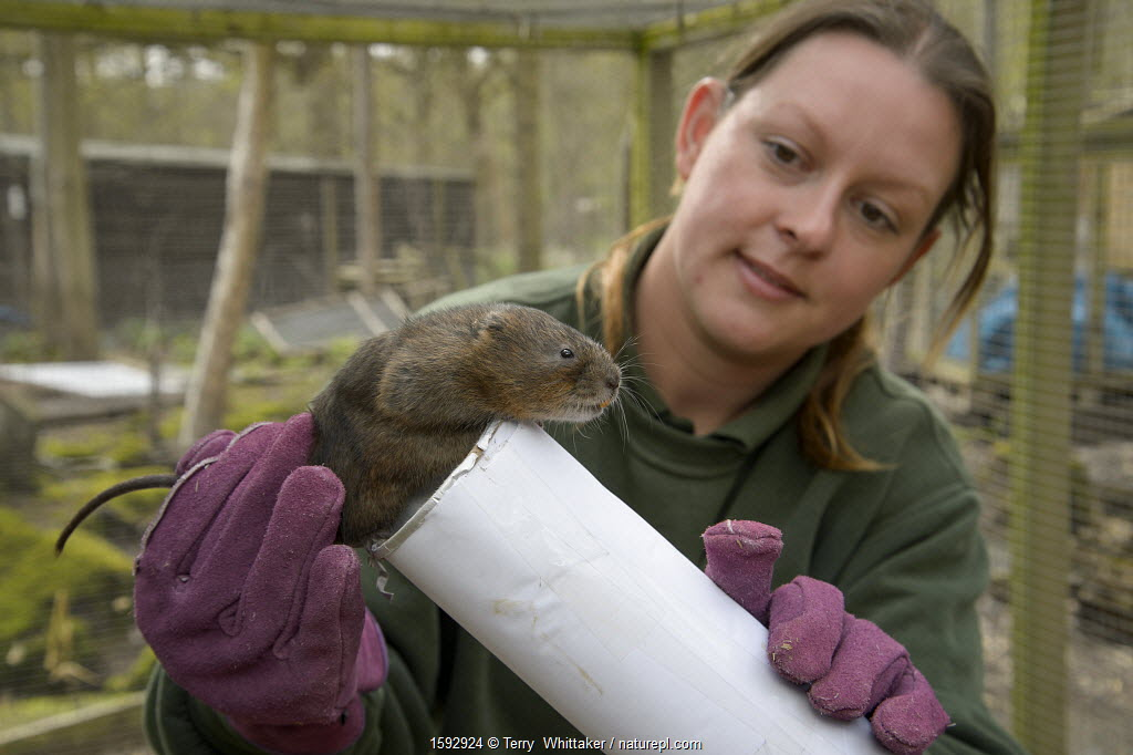 Clare Stalford of the Wildwood Trust Conservation Dept selecting Water Voles (Arvicola amphibius)for release into the wild. Kent, England