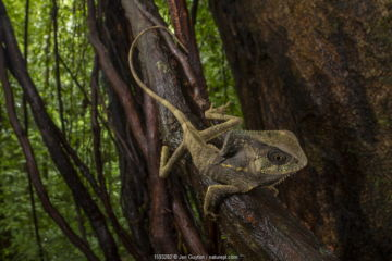 July 2018 Helmeted iguana (Corytophanes cristatus) Puntarenas Province, Costa Rica.