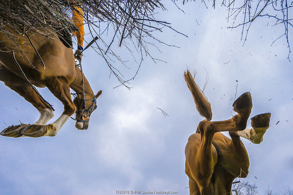 Point-to-Point horse racing, low angle view of racehorse jumping fence, Monmouthshire, Wales, UK. March 2014.
