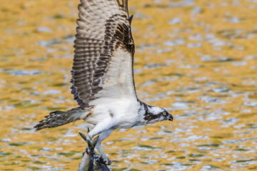 July 2018 Osprey (Pandion haliaetus) with two Alewife (Alosa pseudoharengus) just caught in the Atlantic Ocean. Acadia National Park, Maine, USA. June.