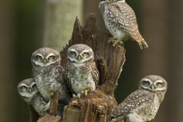 Spotted owlets (Athene brama) group of juveniles, Tamil Nadu, India.