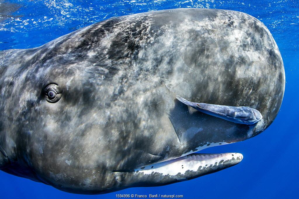 July 2018 Sperm whale (Physeter macrocephalus) portrait, with remora fish, Dominica, Caribbean Sea, Atlantic Ocean, Vulnerable.