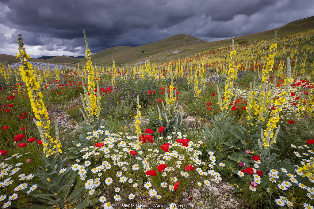 Common mulleins (Verbascum thapsus), Poppies (Papaver rhoeas), and Daisies flowering in mountain pasture. Gran Sasso National Park, Central Apennines, Abruzzo, Italy, June.