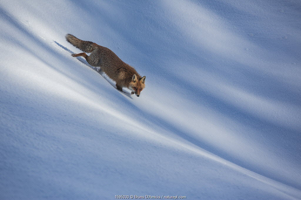 Red fox (Vulpes vulpes) walking through snow. Central Apennines, Molise, Italy