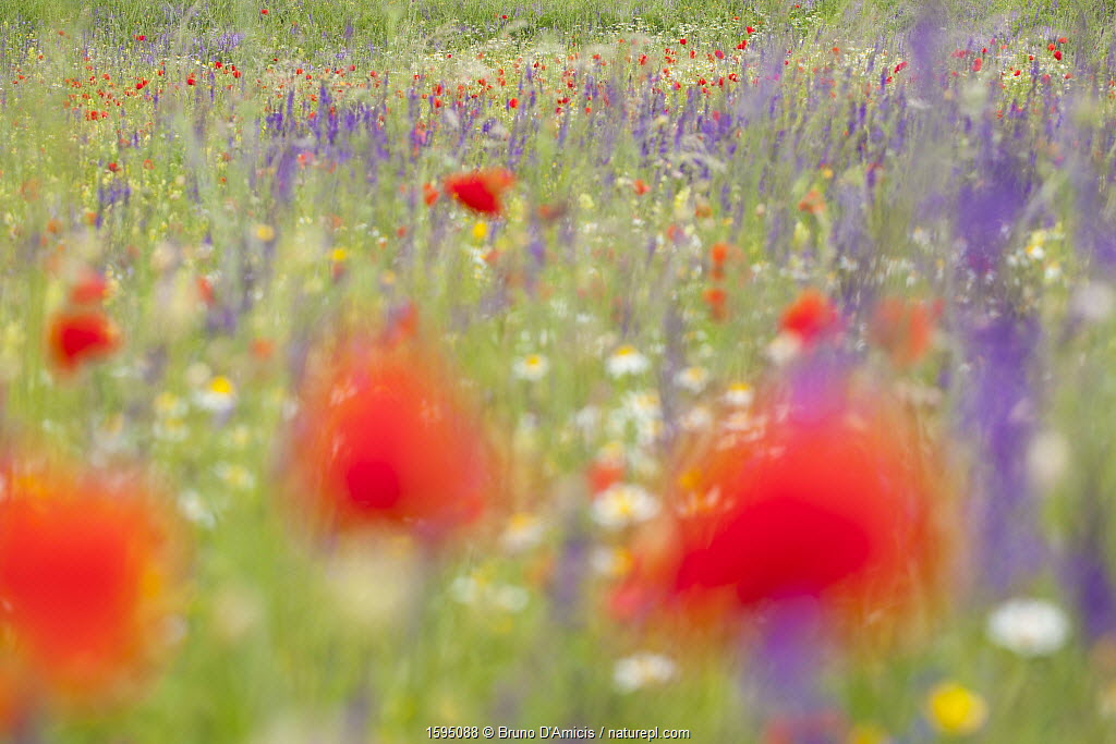Red poppies, cornflowers, daisies and other ruderal species colonize abandoned cultivated fields. Gran Sasso National Park, Central Apennines, Abruzzo, Italy, June.