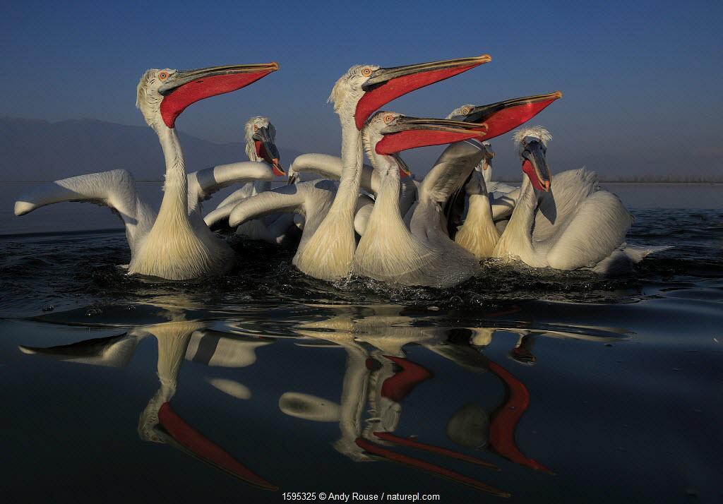 July 2018 Dalmatian pelican (Pelecanus crispus) group on lake, in breeding plumage, Lake Kerkini, Greece, January.