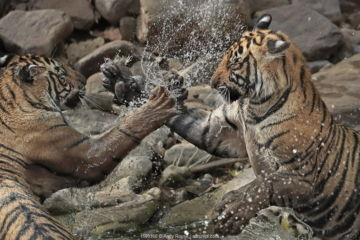 July 2018 Bengal tiger (Panthera tigris) two cubs playing in waterhole, Ranthambhore, India, Endangered species.