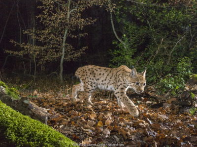 Wild European lynx (Lynx lynx) in forest at night, Jura Mountains, Switzerland.