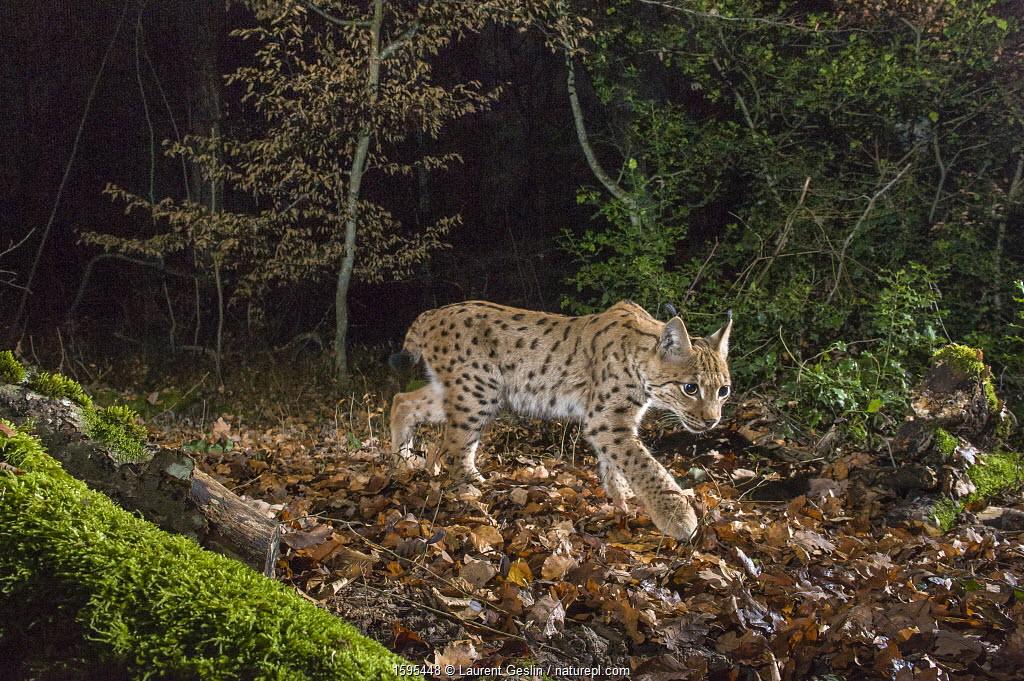 Wild European lynx (Lynx lynx) in forest at night, Jura Mountains, Switzerland.