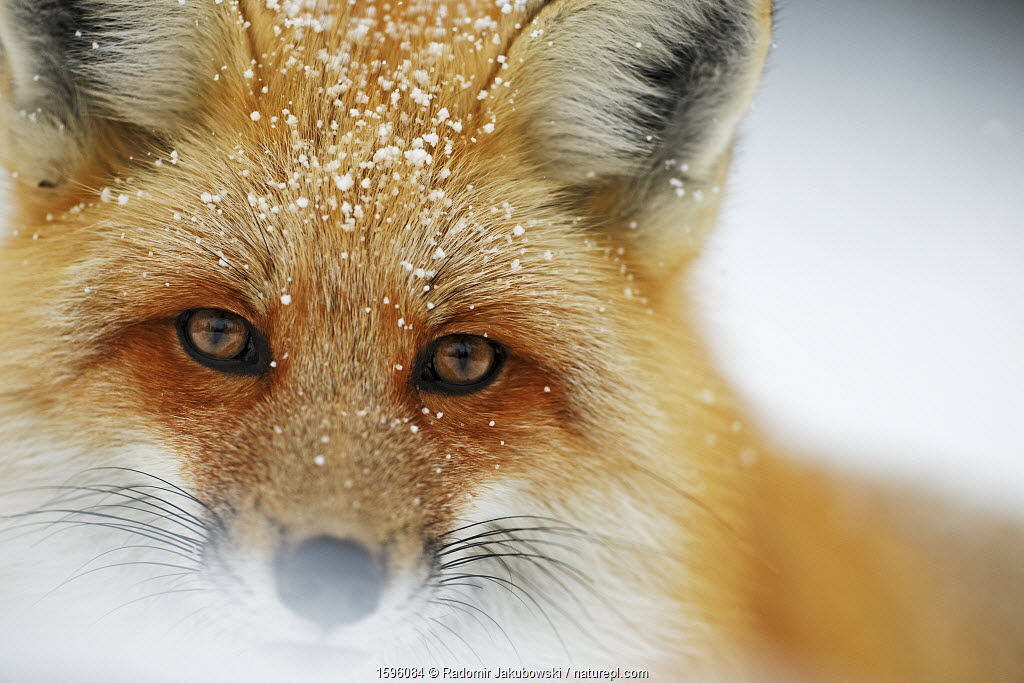 July 2018 Red fox (Vulpes vulpes) face portrait in snow, Grand Teton National Park, Wyoming, USA, February.
