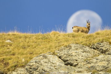 Chamois (Rupicapra rupicapra) walking with the moon behind, Mercantour National Park, France, October.