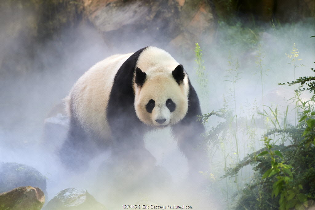 July 2018 Giant panda (Ailuropoda melanoleuca) female, Huan Huan, out in her enclosure in mist, Captive at Beauval Zoo, Saint Aignan sur Cher, France
