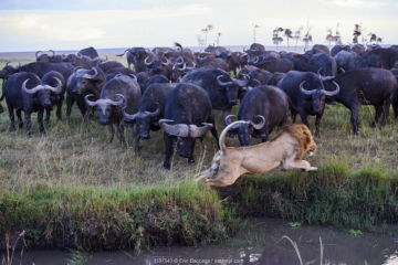 July 2018 African lion (Panthera leo) male escaping from charging Cape buffalo herd (Syncerus caffer caffer), Masai Mara National Reserve, Kenya.