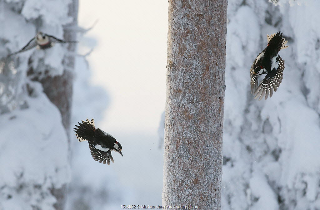 Great spotted woodpecker (Dendrocopos major) three flying in snowy woodland,, Kuusamo, Finland, January.