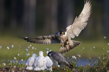 Peregrine falcon (Falco peregrinus) adult landing at nest with chicks, Vaala, Finland, June.