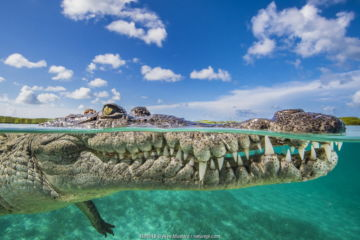Split level photo of an American crocodile (Crocodylus acutus) floating at the surface over a shallow seagrass meadow, Jardines de la Reina, Gardens of the Queen National Park, Cuba. Caribbean Sea.