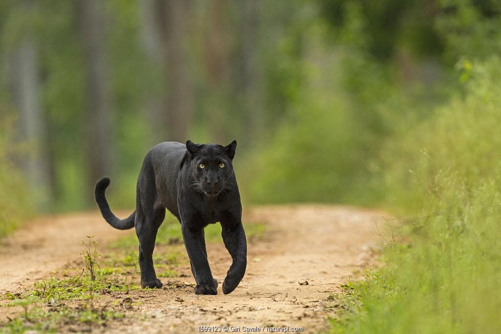 Melanistic leopard / Black panther (Panthera pardus) on territorial patrol on track, Nagarahole National Park, Nilgiri Biosphere Reserve, Karnataka, India.
