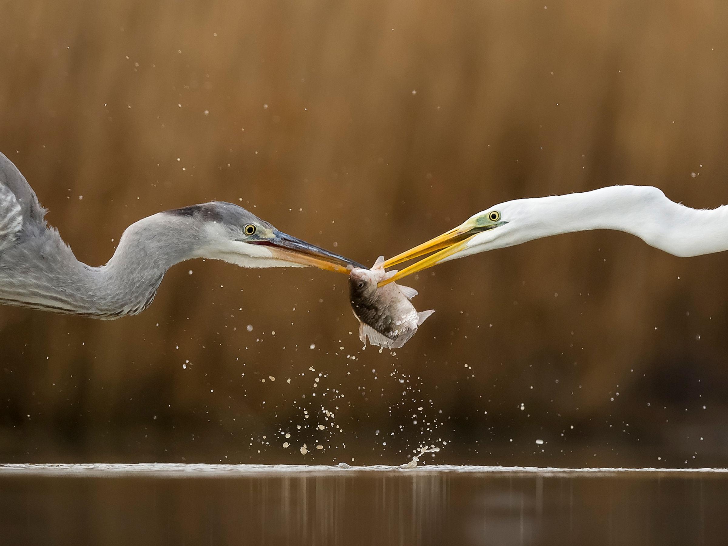 Great egret (Ardea alba) fighting over fish with Grey heron (Ardea cinerea) Lake Csaj, Kiskunsagi National Park, Pusztaszer, Hungary. January.