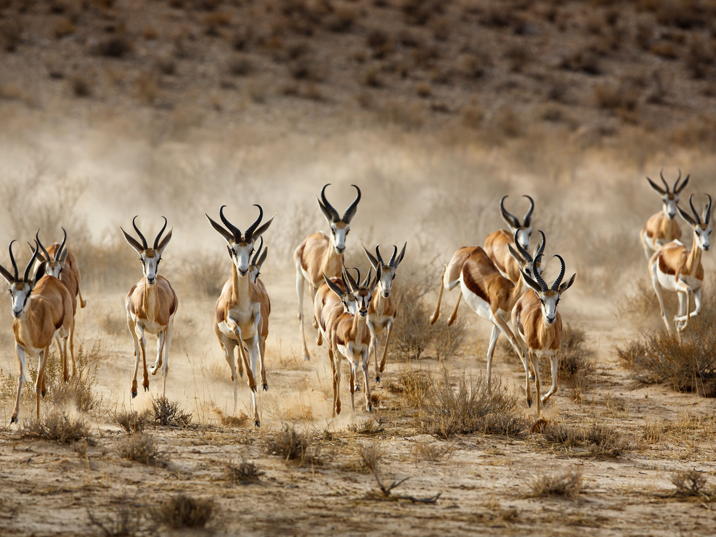 Springbok (Antidorcas marsupialis) herd running from cheetah, Kgalagadi Transfrontier Park, Northern Cape Province, South Africa, December.