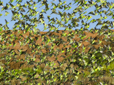Budgie flock flying