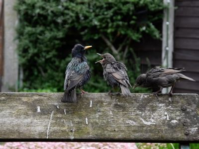 Starlings feeding fledged chicks in a UK garden, Manchester