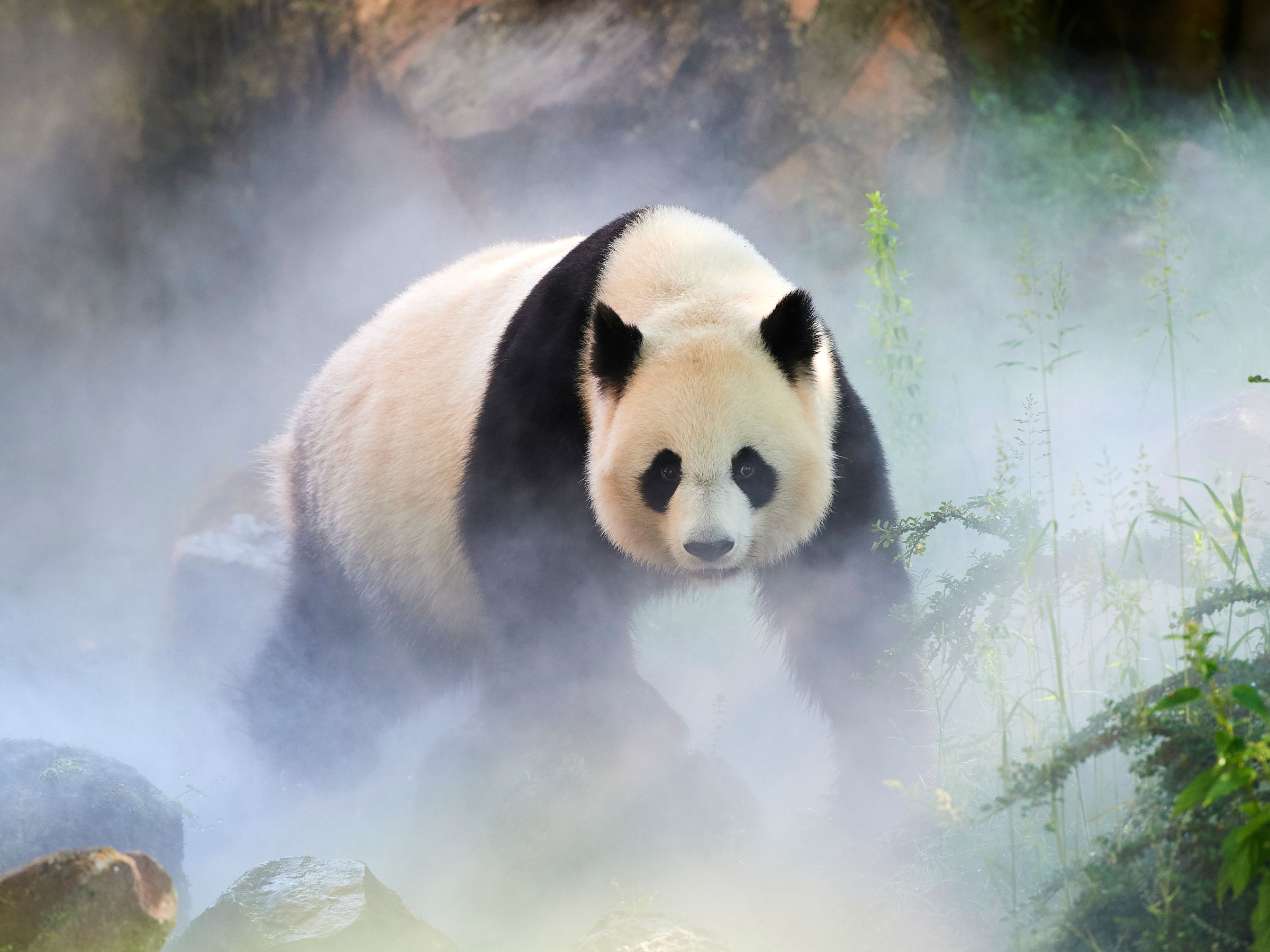Giant panda (Ailuropoda melanoleuca) female, Huan Huan, out in her enclosure in mist, Captive at Beauval Zoo, Saint Aignan sur Cher, France The mist is created artificially by machine, in order to create a cooler environment, closer to the conditions in their natural mountain habitat in China