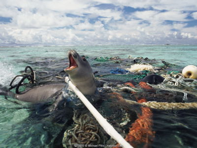 Hawaiian monk seal caught in fishing tackle off Kure Atoll, Pacific Ocean. The seal was subsequently freed and released by the photographer.