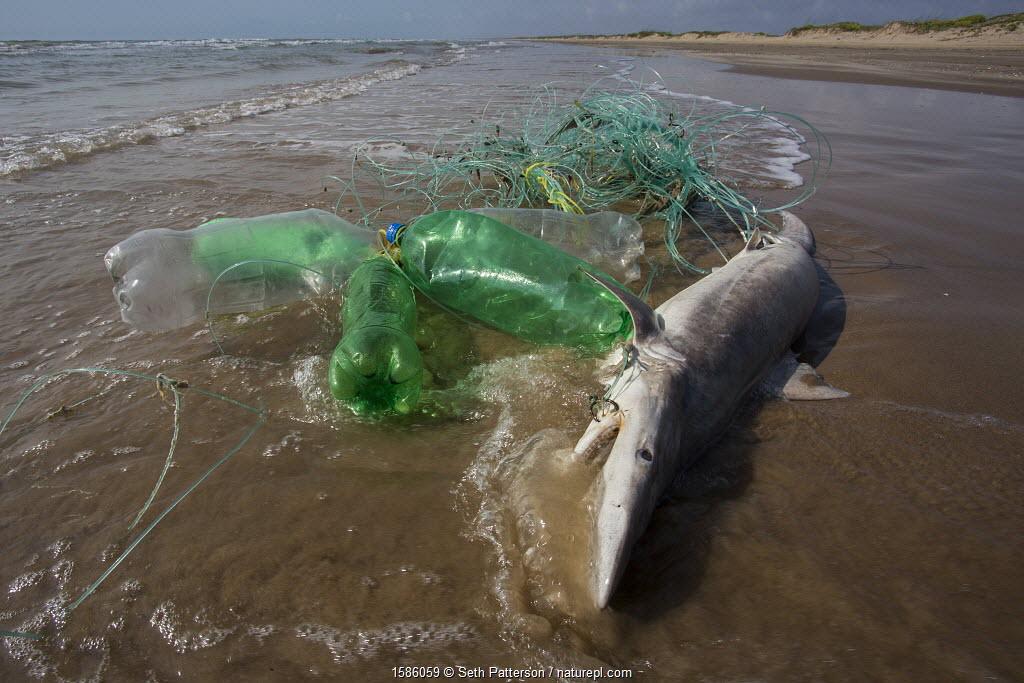 Blacktip shark (Carcharhinus limbatus) juvenile caught on illegal long-line fishing line washed ashore on Boca China beach, Texas, USA, May.