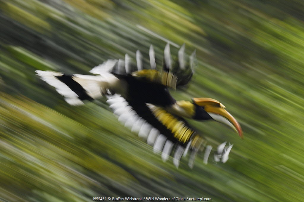 Great hornbill (Buceros bicornis) in flight, blurred motion. Tongbiguan Nature Reserve, Dehong Prefecture, Yunnan Province, China, April.