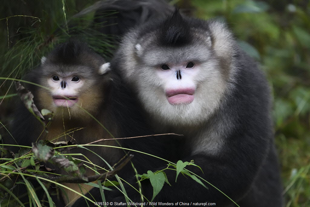 Yunnan snub-nosed monkeys (Rhinopithecus bieti) adult and young, Ta Cheng Nature reserve, Yunnan, China. October