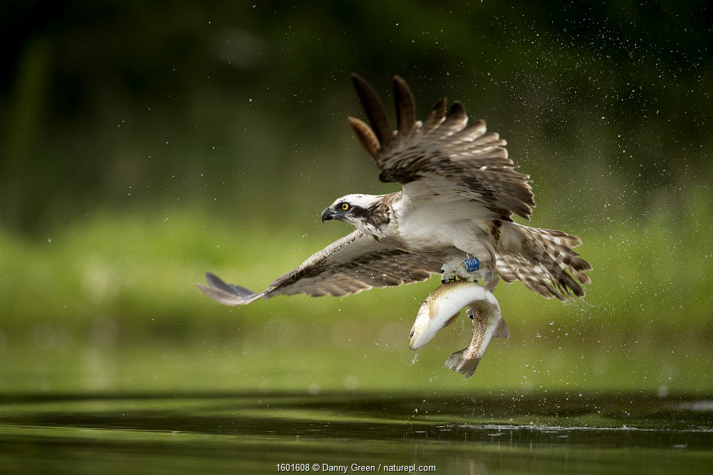 Osprey (Pandion haliaetus) in flight catching a fish, Finland, July