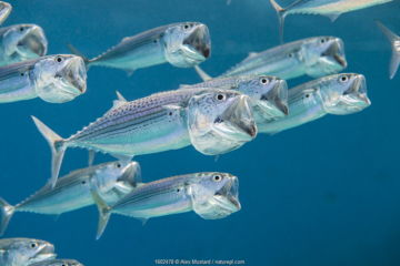 Striped mackerel (Rastrelliger kanagurta) shoal swimming with open mouths, filtering for zooplankton. Marsa Shouna, Port Ghalib, Marsa Alam, Egypt. Red Sea