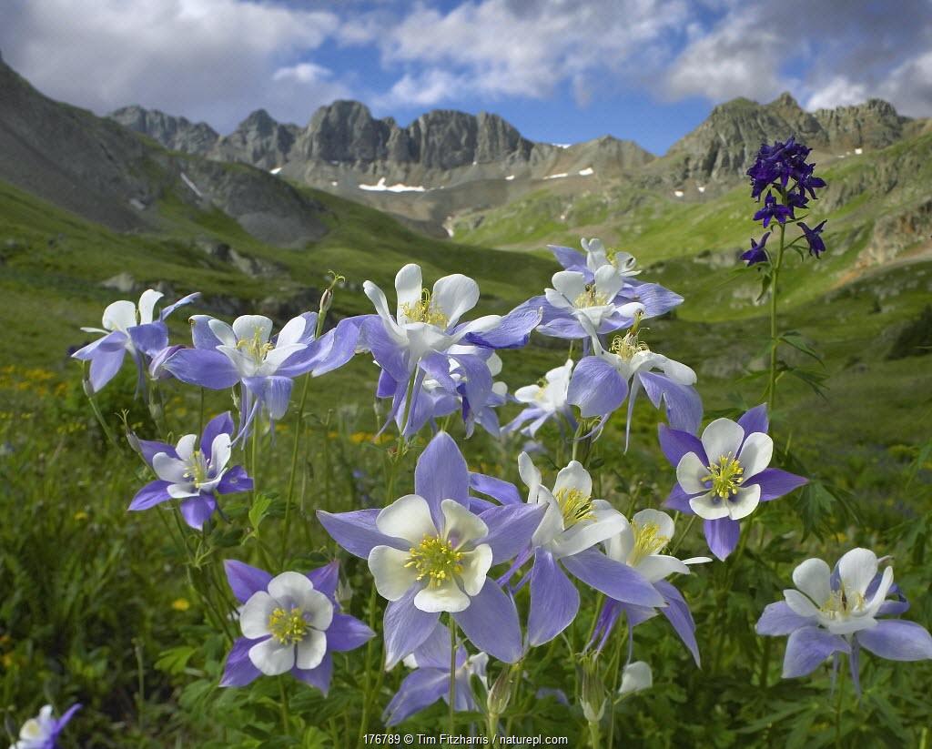 Colorado Blue Columbine (Aquilegia caerulea) meadow at American Basin, Colorado