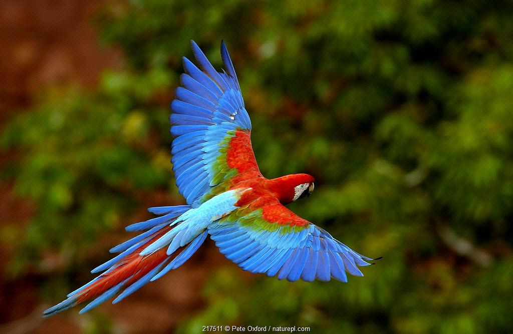 Red and Green Macaw (Ara chloroptera) flying, Cerrado habitat, Mato Grosso do Sul, Brazil