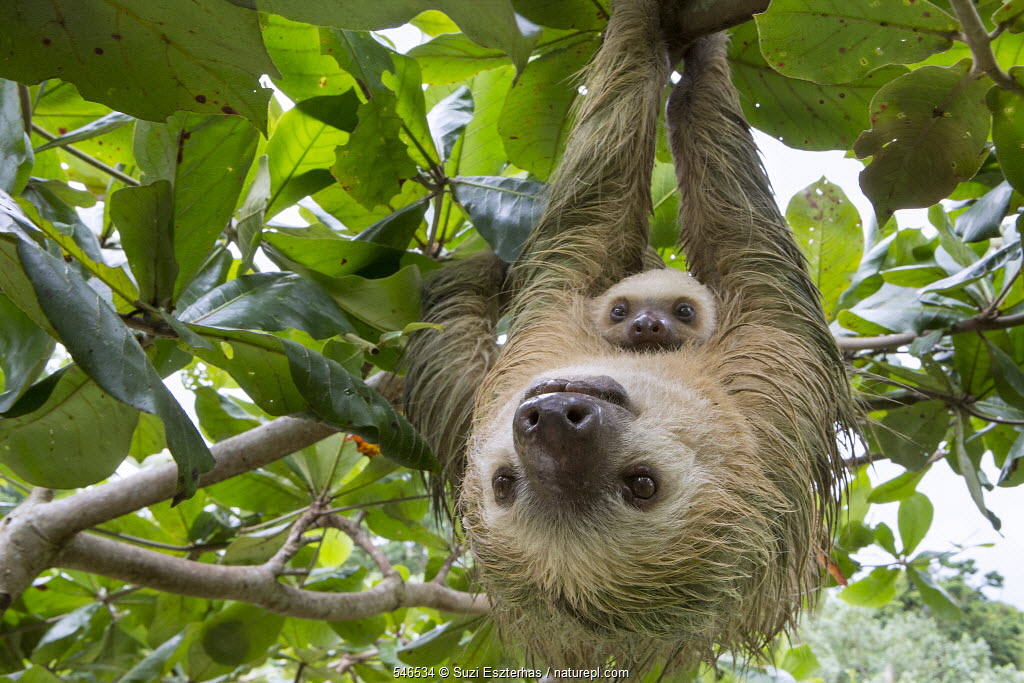 Hoffmann's Two-toed Sloth (Choloepus hoffmanni) mother and two month old baby, Aviarios Sloth Sanctuary, Costa Rica